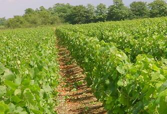 Domaine Laboureau Pascal et Mathieu Rang de Vigne