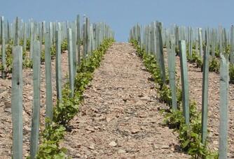 Jeunes pousses du vignoble du château de Javernand