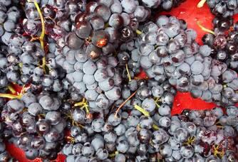 Les grappes du Domaine La Casenove