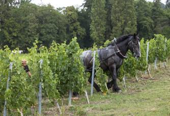 Cheval de trait au milieu du vignoble du château de la Rivière
