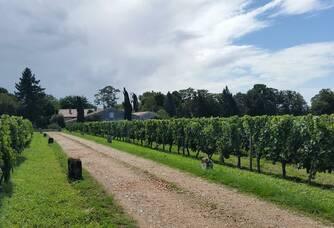 Les vignes du Château Lescaneaut