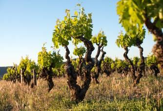 Pieds de vigne du Domaine Anne Gros & Jean Paul Tollot