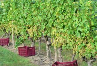 Pieds de vigne du Vignoble Queyrens