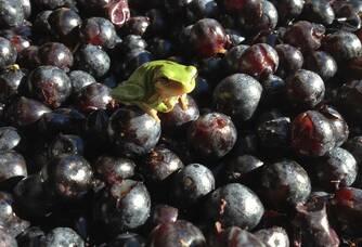 Raisins du Château Meric