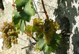 Les grappes du Clos d'entre les murs du  Château de Parnay