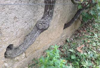 Une vigne poussant dans le Clos d'entre les Murs du Château de Parnay