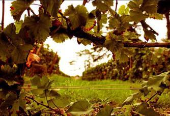 Aperçu de vignes du Champagne Philipponnat