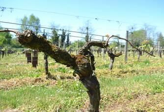 Une vigne des Vignobles Saby