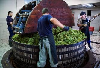Travail des raisins au Champagne A.R Lenoble