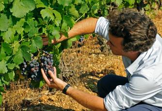 Olivier Coste prend soin de ses vignes