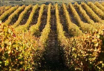 Belle vue entre les vignes du Château Haut-Blanville