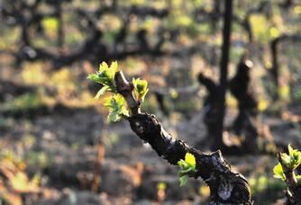 Les jeunes pousses du vignoble du Domaine de Verquière